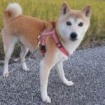 When you are traveling Japan you often see Japanese dog SHIBAINU here and there.しょっちゅう柴犬と出会うhttps://japancourse.com/en/shibainu/#Shibainu #Shibaken #柴犬 #JapaneseDog #日本犬
